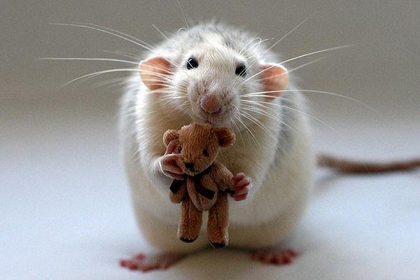Điềm báo mơ thấy chuột
