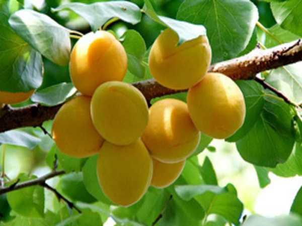 Mơ thấy hái trái cây mang đến cho bạn con số gì?