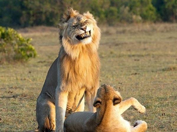 Mơ thấy sư tử đánh con gì? Nằm mơ thấy sư tử có ý nghĩa gì?