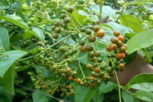 8 Bài thuốc trị bệnh thần kỳ từ Cây Xạ Đen