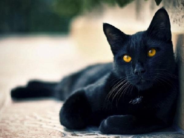 Mơ thấy mèo đen có điềm báo gì? Tốt hay xấu?