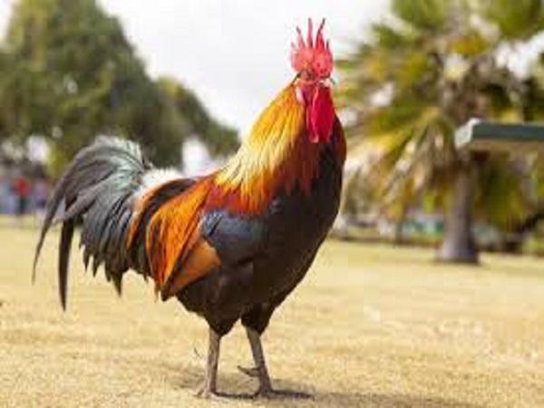Mơ thấy con gà có điềm báo gì? đánh con số nào dễ ăn?