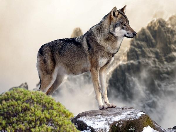 Mơ thấy con sói có điềm báo gì? giải mã giấc mơ thấy sói?