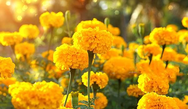 Nằm mơ thấy hoa vạn thọ đánh con gì đánh lô số mấy