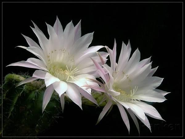 Nằm mơ thấy hoa quỳnh mang đến điềm báo trước gì