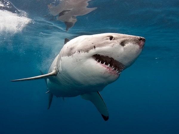 Mơ thấy cá mập đánh con gì?